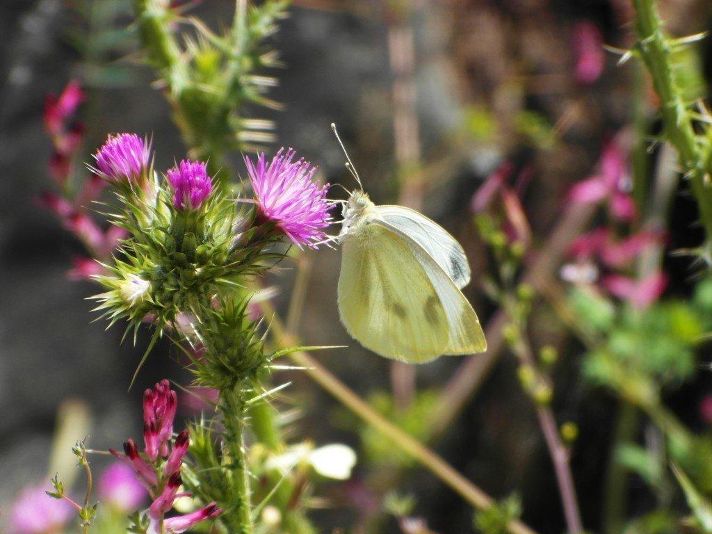 En liten fjäril av okänd sort.