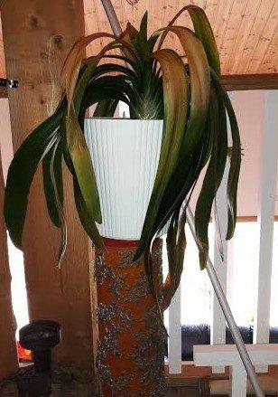 Klas klassiska piedestal med tillhörande växt.