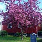 Vårt fina träd utanför huset.