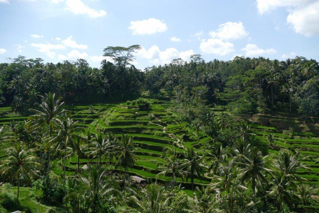 Risfälten i Tegalalang, Bali.