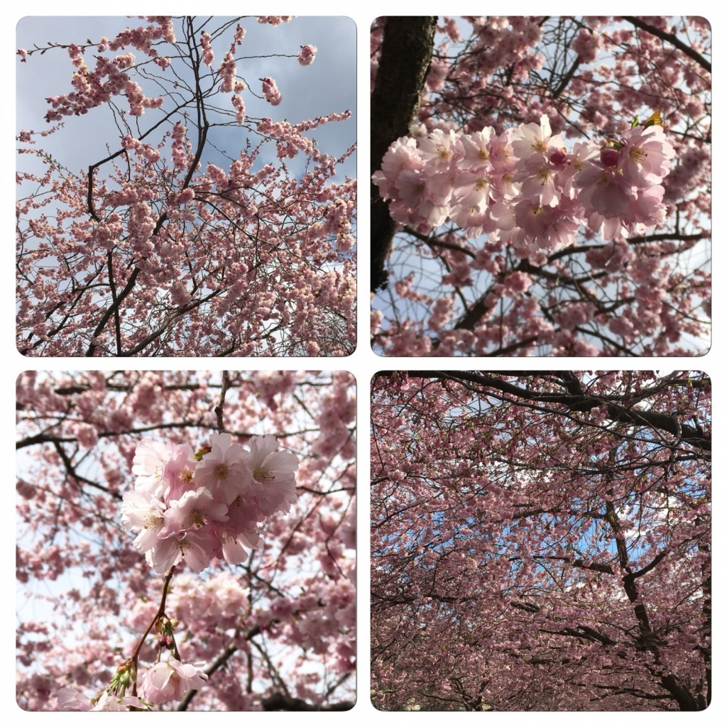 Cherry Blossom, Körsbärsblommor