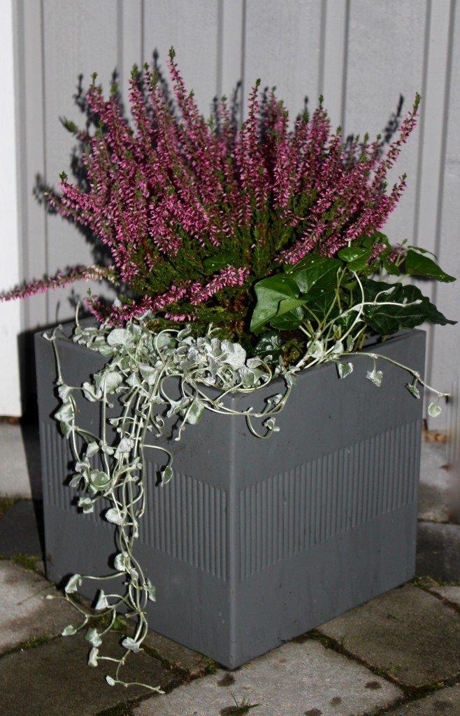 hostplantering_hostkruka_cult_design_ljung_murgrona_silvernjurvinda