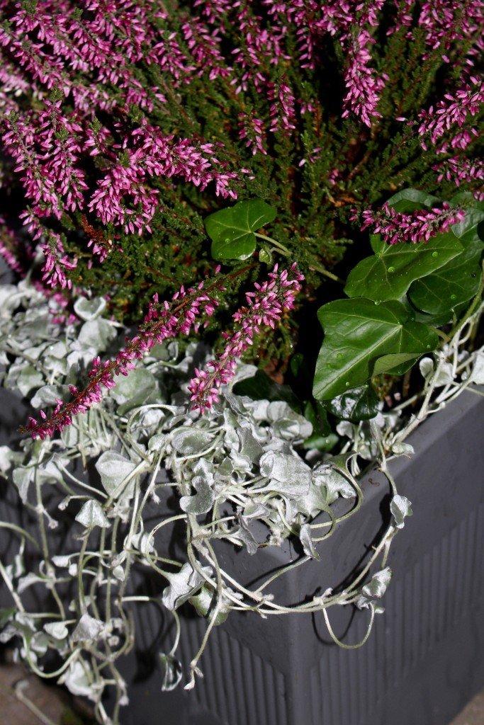 lila_ljung_murgrona_silvernjurvinda_cult_design_host_plantering_kruka