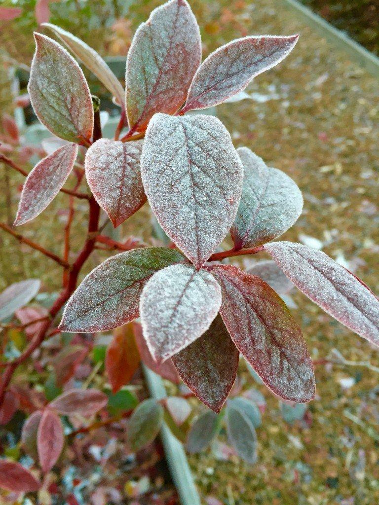 frostbiten_vinter_frost_blabar_amerikanska_blabarsbuskar