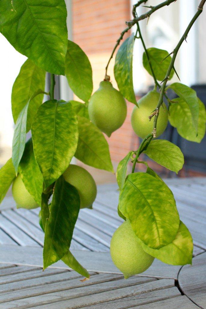 citroner_odla_sjalv_beskara_och_plantera_om_citrontrad