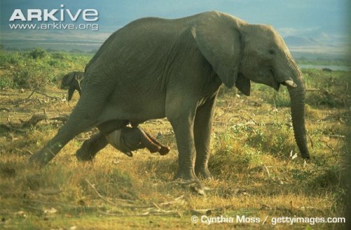 African-elephant-giving-birth