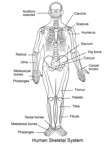 human-skeletal-system-coloring-pages