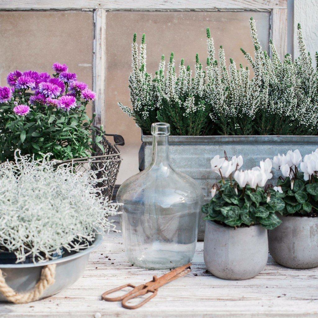 vilka blommor tål minusgrader? höstblommor som tål frost, frosttåliga höst blommor, trendiga höst planteringar, skötselråd ljung, hur sköter jag ljung, aster, kallna, silvergirlang,