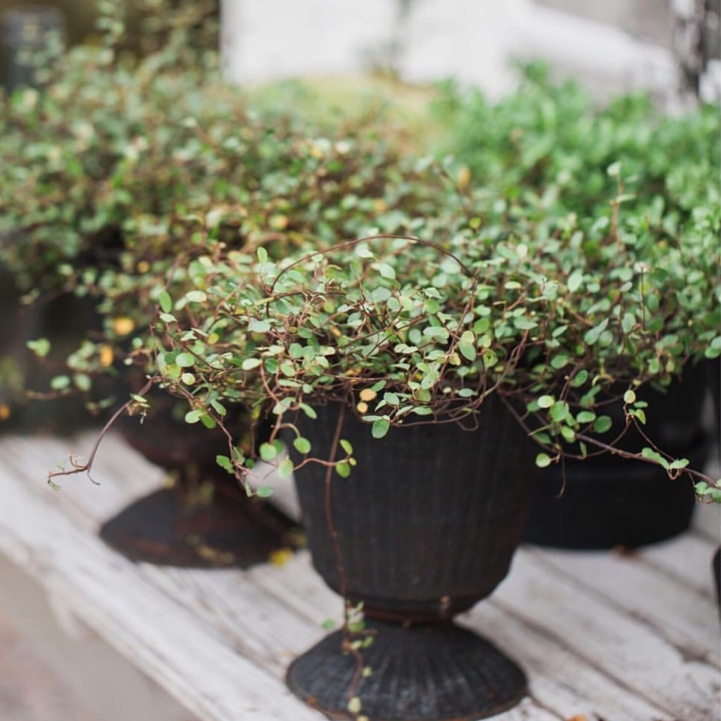 trendiga växter, trendiga växter 2015, mys blommor, my martens, malin björkholm, fotograf malin björkholm,  öland,