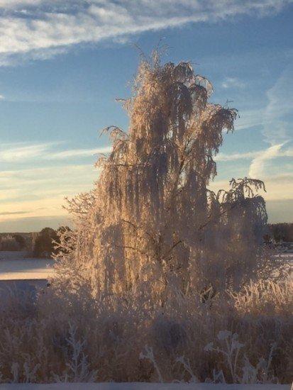 frost i träden