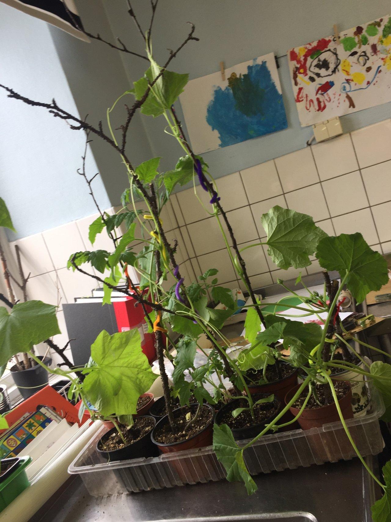 Gurkplantor