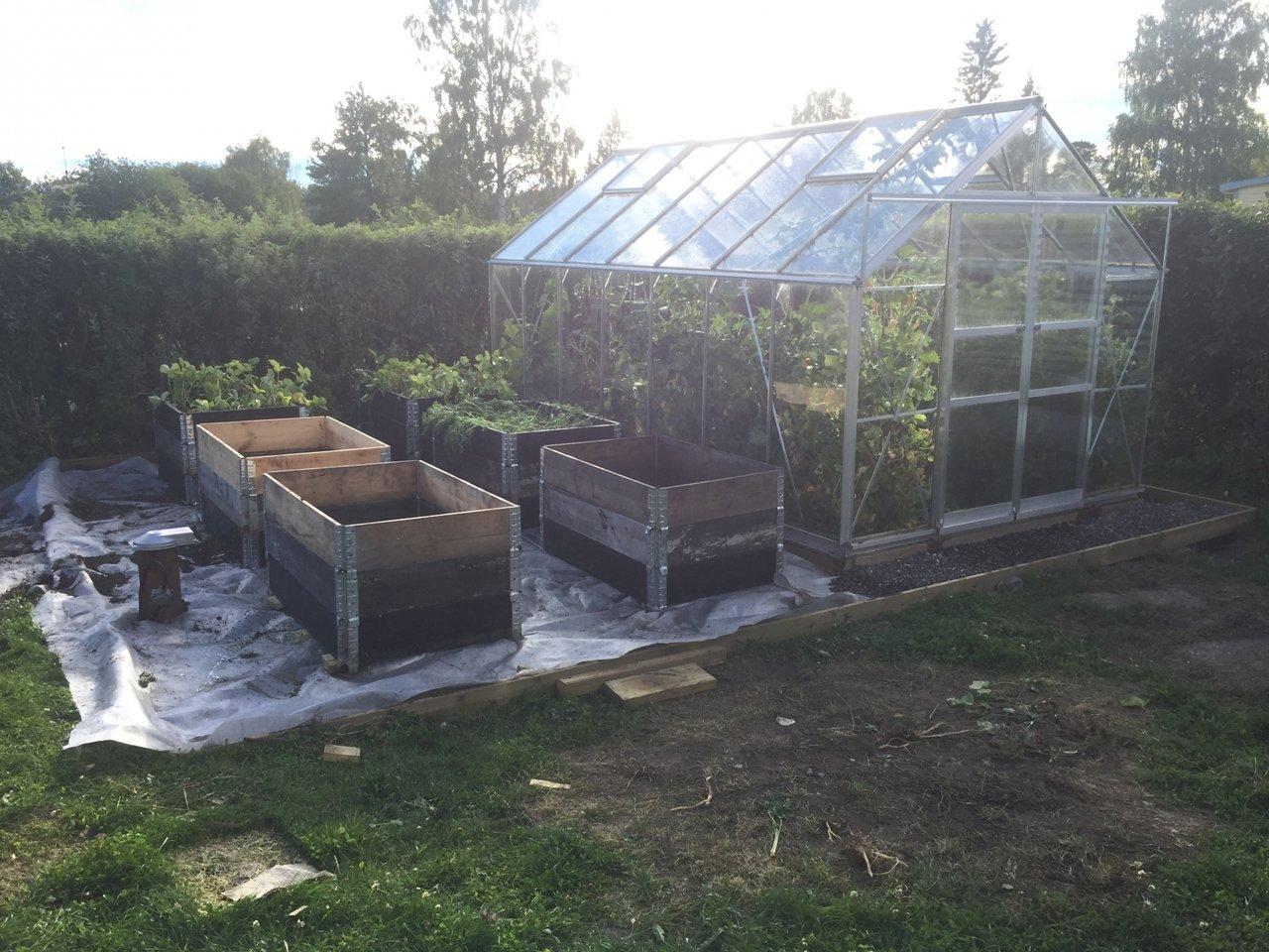 plantera om morötter