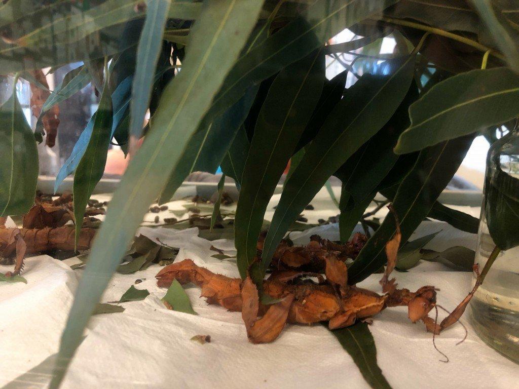 Hur coola är inte Aus's vandrande pinnar? Stora och ser uråldriga ut.