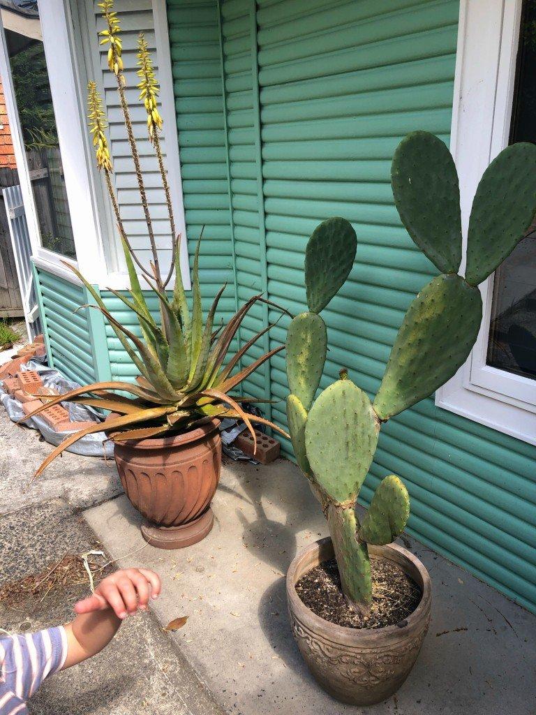 """Min kaktus har börjat få ännu ett """"blad"""". Jippi!"""