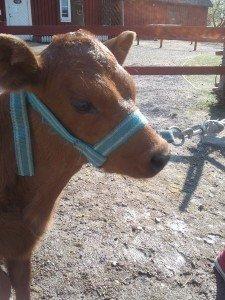 Jättesöt 1 månad gammal kalv!