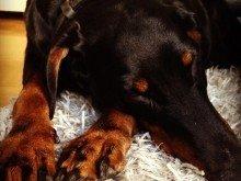 Duchess sover på mattan framför TV som var favoritplatsen.